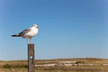 seagull standing on a wooden post with sand dunes and blue sky