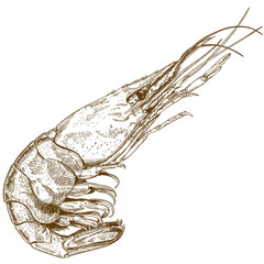 engraving illustration of shrimp