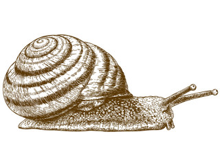 engraving illustration of snail