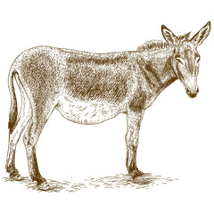 engraving illustration of donkey