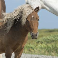 Horses, Newfoundland, Canada