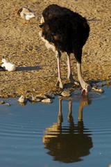 Ostrich drinking water.