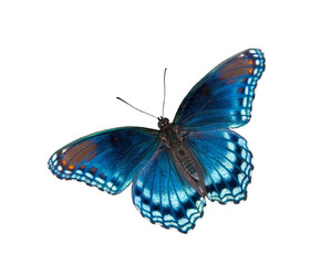 Limenitis arthemis astyanax, Red Spotted Purple Admiral butterfly, isolated