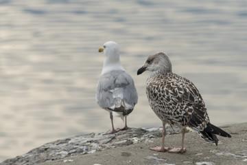 Seagulls, Newfoundland, Canada