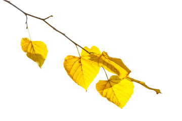 Yellow linden leaves on a branch on a white background