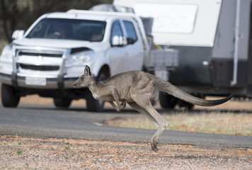 kangaroo crossing road