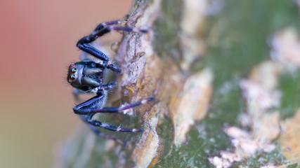 Macro jumping spider