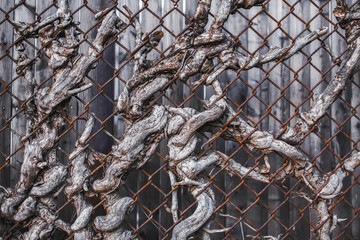 background of the branches in the metal lattice. dead branches of bushes in an old metal fence. texture, background