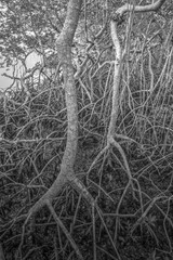 Mangrove Trees in Black and White