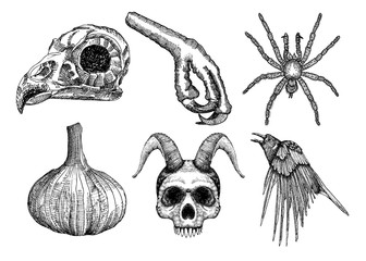 Set for Halloween. Set of witchcraft magic, occult attributes decorative elements. Human, demon with horns, bird skull, bug, spider, insect, crow, garlic, bird leg. Folklore  attributes.  Vector.