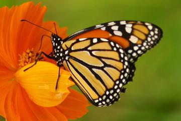 Monarch on English Marigold