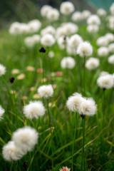 Field of cottongrass in the mountains