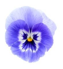 paarse viooltjesbloem