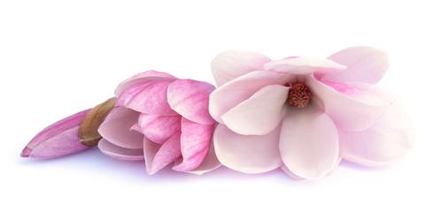 pink magnolia flowe