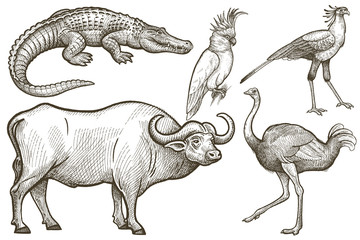 African animals set. Buffalo, Crocodile, Ostrich, Secretary bird, Cockatoo. Illustration Vector Art. Style Vintage engraving. Hand drawing.