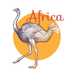 African animals. Ostrich bird. Illustration Vector Art. Style Vintage engraving. Hand drawing.