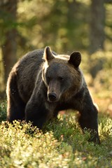 brown bear at summer in forest