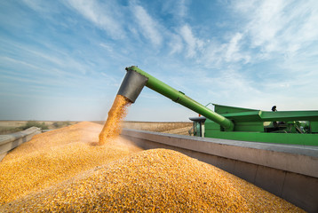 Pouring corn grain into tractor trailer