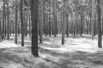 Pine forest, black-white photo, beautiful autumn landscape