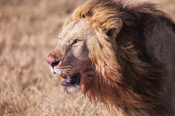 lion with bloodstained face Masai Mara in Kenya, Africa