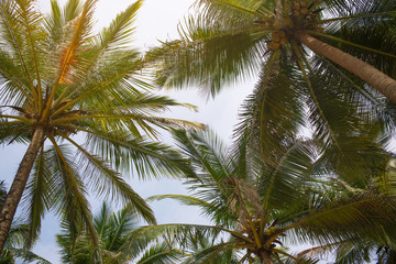 the tops of palm trees. Photo tops of palm trees