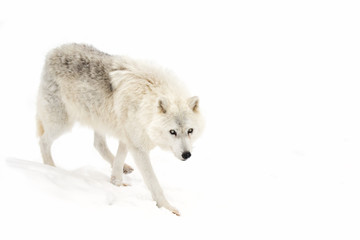 Arctic wolf isolated on a white background walking through the snow in winter in Canada