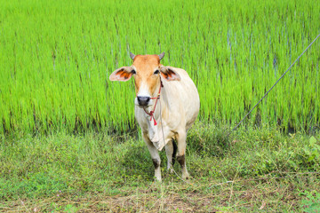 Cow in the green rice field