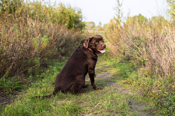 Chocolate labrador retriever is sitting on the grass on a sunny