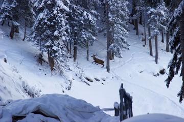 Steinbock im Schnee