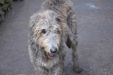 Irish Wolfhound Dog with Scruff