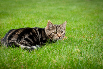 Striped kitten is hunting on fresh grass