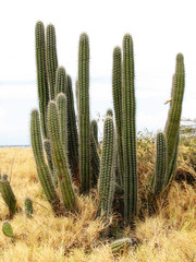 Kadushi Cactus Overlooking the Ocean