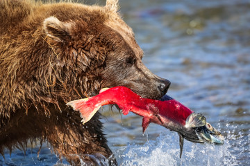 Bär mit Lachs