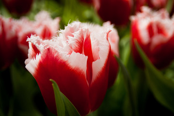 Tulip two colours red and white