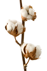 Isolated cotton branch