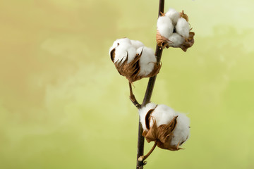 Cotton plant with copy space