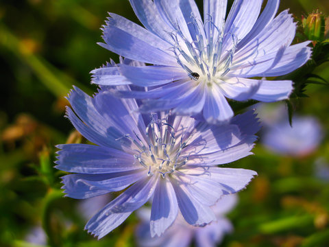 chicory flower on blurred green background