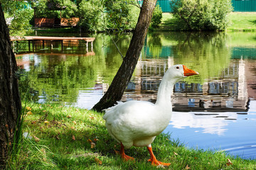 Goose at the shore of the pond