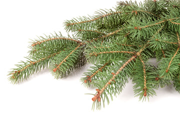 fir-tree branch isolated on a white background