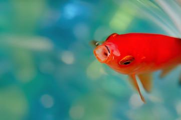 Closeup goldfish macro bright red orange colour mouth open