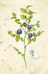 Watercolor realistic illustration of bilberries with branches and leaves, on vintage beige background.