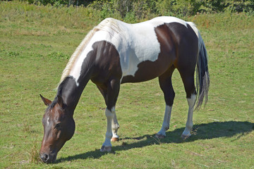 Black and white young horse in field
