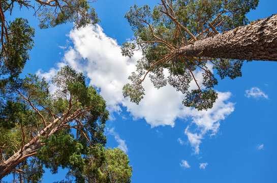 Crowns of tall pine trees above his head in the forest against b