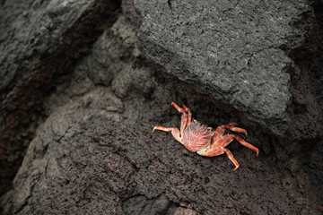 Thin-Shelled Rock Crab (Grapsus Tenuicrustatus) Skeleton In Kiholo Bay; North Kona, Island Of Hawaii, Hawaii, United States Of America