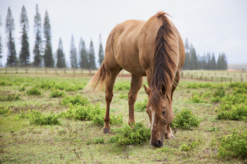 A horse grazes at Koele Stables; Lanai, Hawaii, United States of America