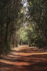The tree-lined Mahana Trail; Lanai, Hawaii, United States of America
