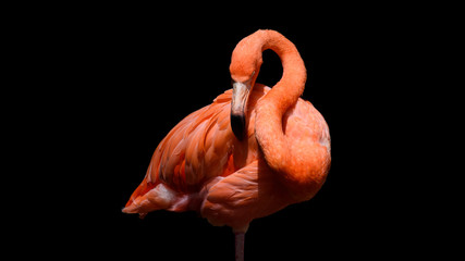 Fototapeten Flamingo Flamingo with black background