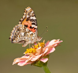 Vanessa cardui, Painted Lady butterfly feeding on a flower against green background