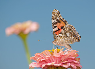Painted Lady butterfly, Vanessa cardui, feeding on pink Zinnia against blue sky