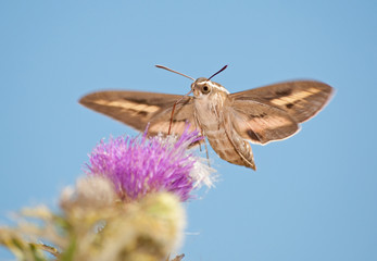 Front view of a White-Lined Sphinx Moth in flight, feeding on thistle
